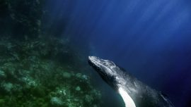 Humpback_whale_by_Christopher_Michel