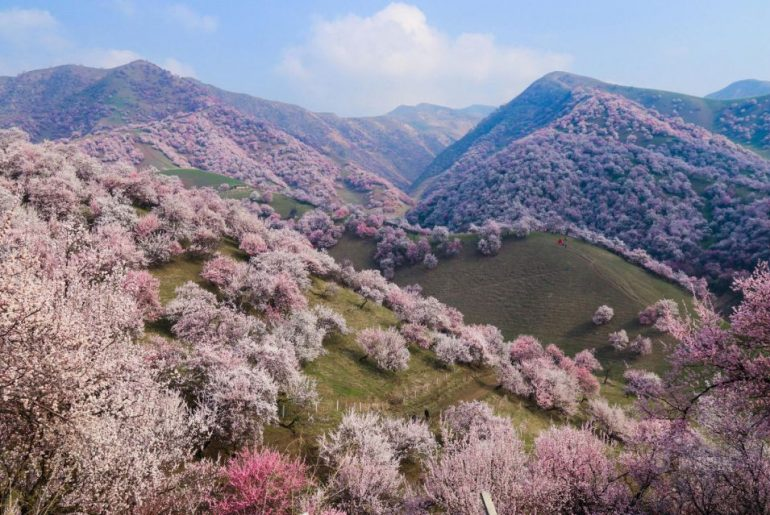 apricot blossom valley