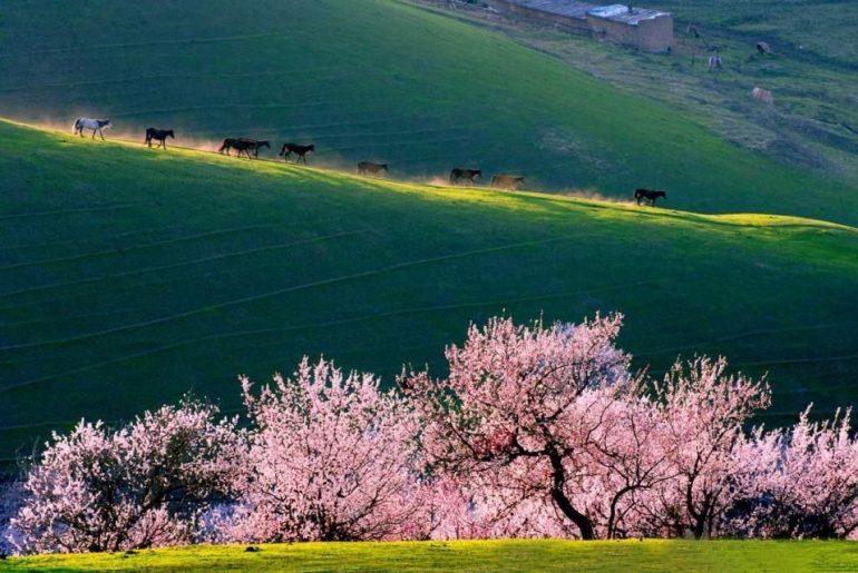 apricot blossom china