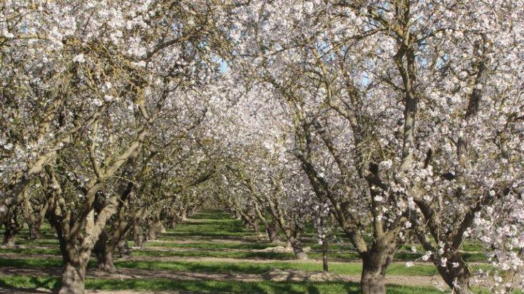 apricot-trees-china