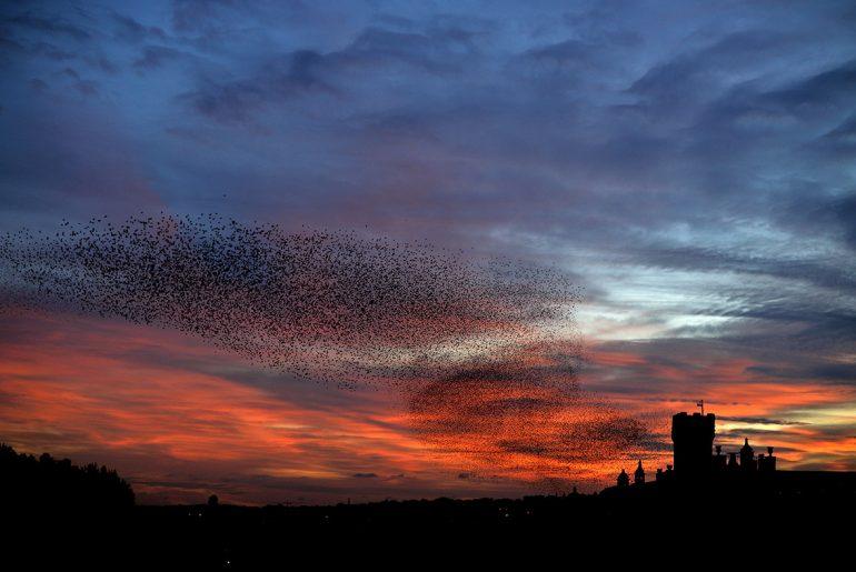 starlings_UK