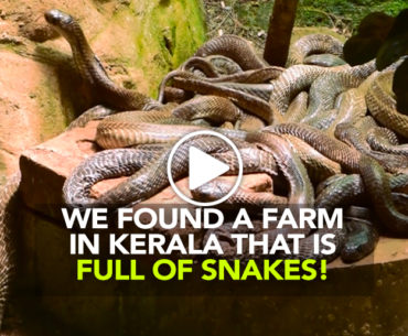 A Walk Through Kerala's Snake Park On Nag Panchami