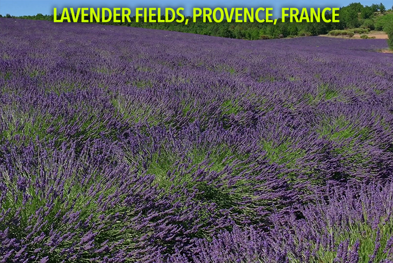 lavender-fields-in-provence-southern-france