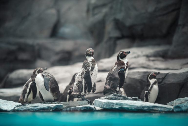Humboltd penguins