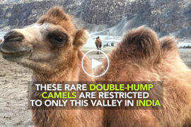 Two-humped camel at Nubra Valley, Ladakh