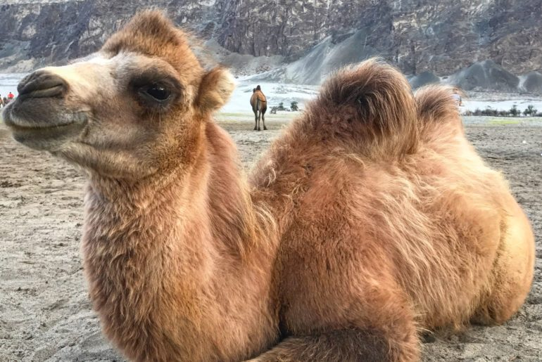 Bactrian Camel, Nubra Valley