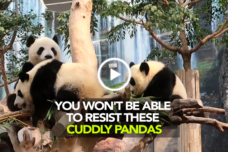 We Dare You Not To Go 'Awww' With These Adorable Pandas In Macao