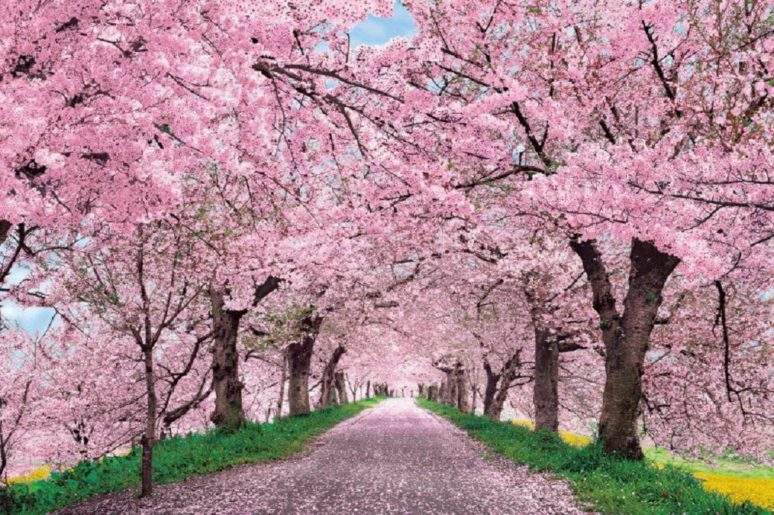 Ditch Japan Catch Blooming Cherry Blossoms Right Here In India