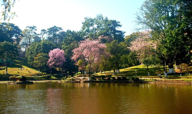 Cherry Blossoms Shillong