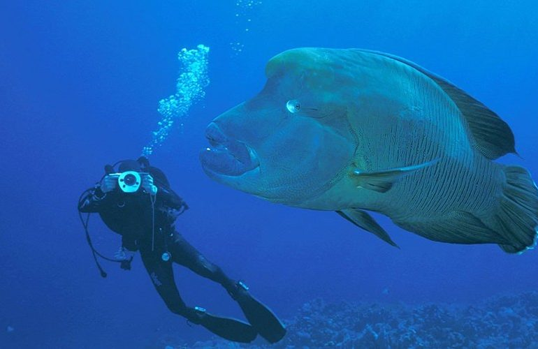 Humpback Parrotfish
