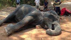 elephant dies of exhaustion