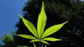 Madhya Pradesh Legalises Weed
