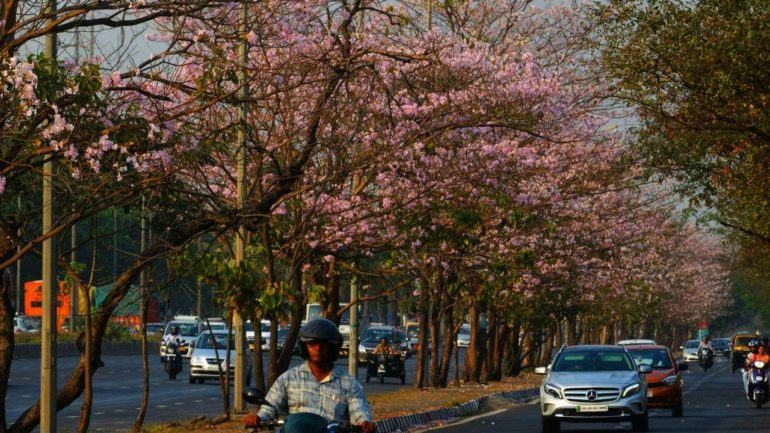 Mumbai Has Its Very Own Cherry Blossom Trees They Are In Full Bloom
