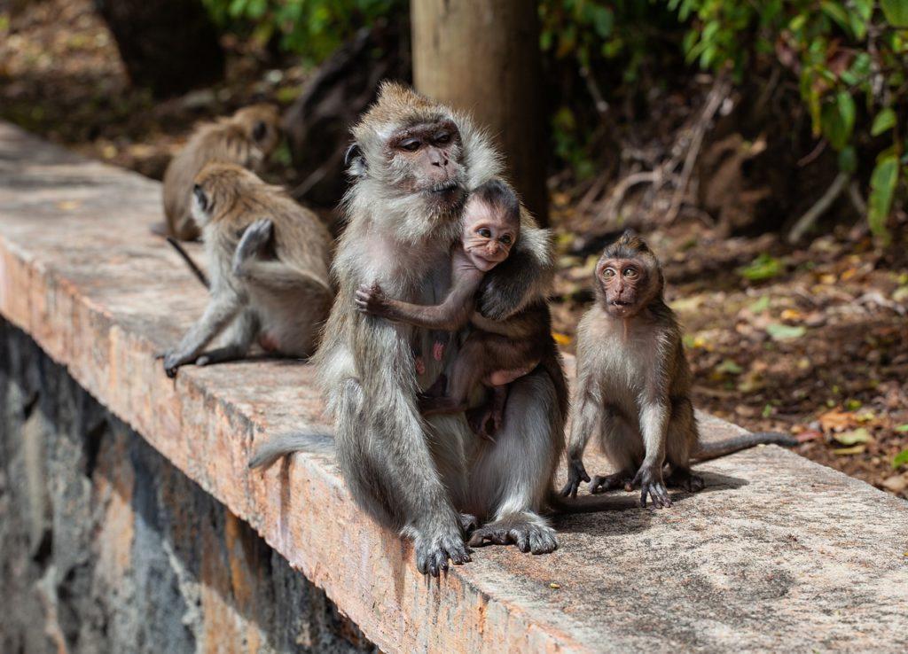 monkeys social distancing Arunachal Pradesh