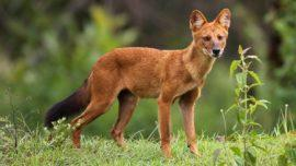Rare Whistling Dogs Spotted In Gujarat After 50 Years