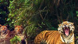 Sundarbans Tiger Reserve reopens