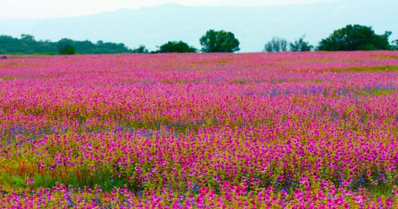 Kaas Plateau In Satara Looks Gorgeous As It Blooms With 350 Varieties Of Flowers
