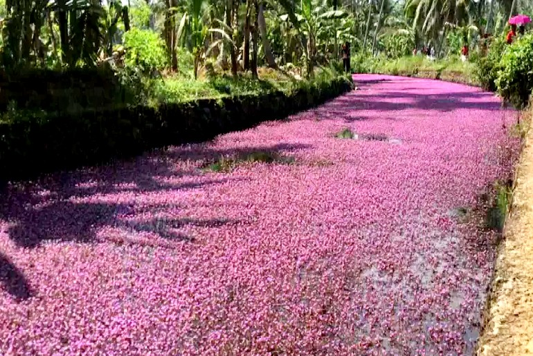 kozhikode pink flowers