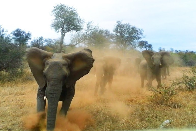 Elephant Charges Towards Tourists