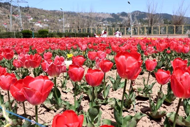 tulip garden in kud
