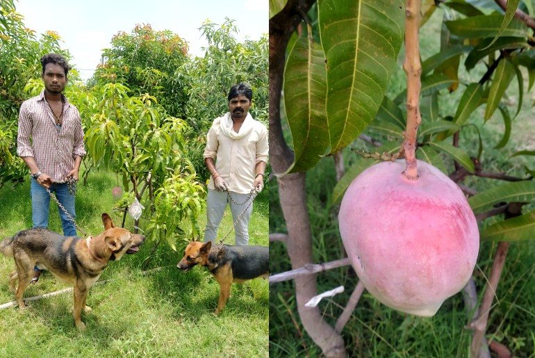 mp couple grow japanese mango